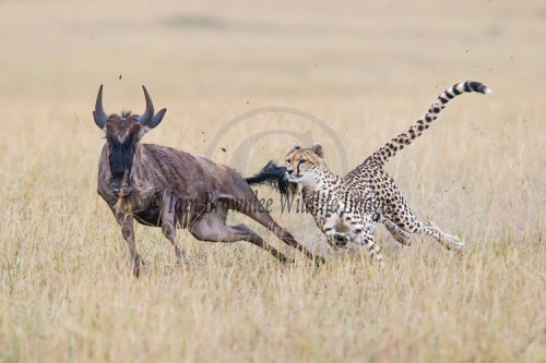 'Malaika' chasing a young Wildebeest.