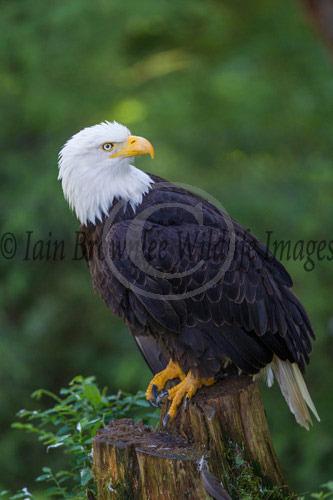 Bald Headed Eagle - Alaska