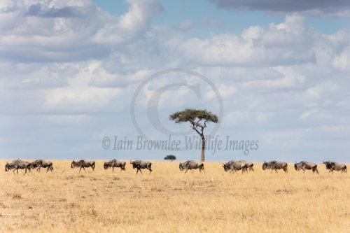 Wildebeest migrate on the Masai Mara