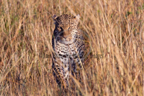 Female Leopard on the Masai Mara