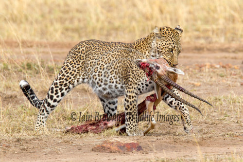 'Bahati' the female Leopard