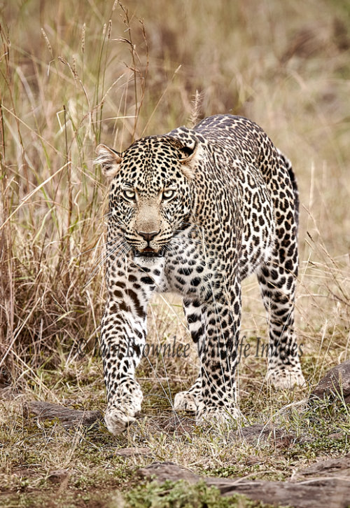 Male Leopard - Kenya