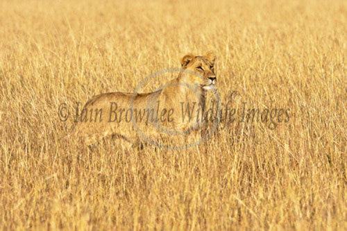 Lion - Masai Mara Kenya