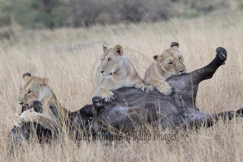 Three lionesses bring down a Cape Buffalo
