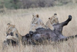 Three lionesses bring down a Cape Buffalo