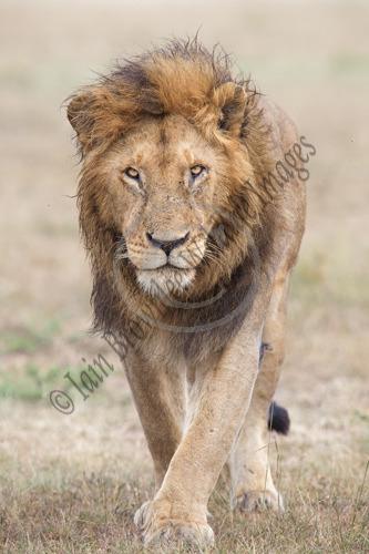 Male Lion - Kenya