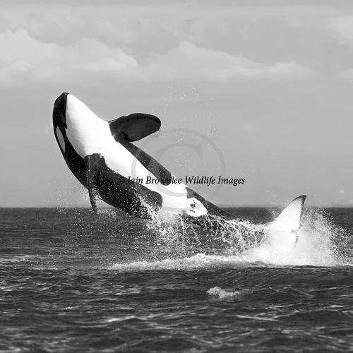Breaching Orca - San Juan Islands