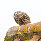 Little Owl with worm