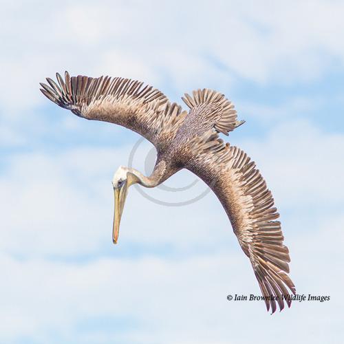 Pelican - Sea Of Cortez
