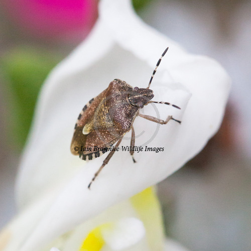 Hairy Shield Bug - England