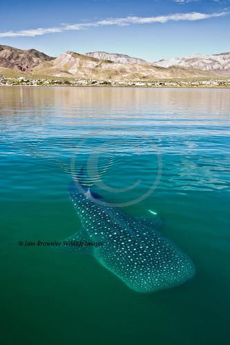 Whale Shark - Sea of Cortez