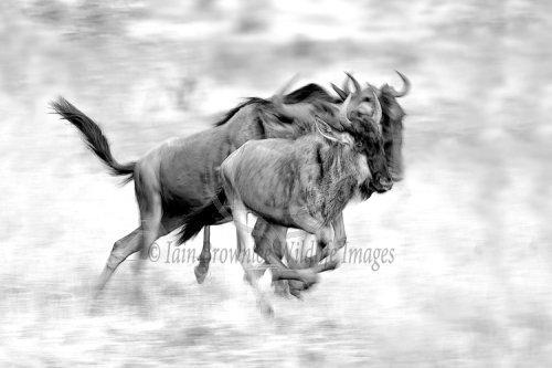 Wildebeest migrate on the Masai Mara (B&W)