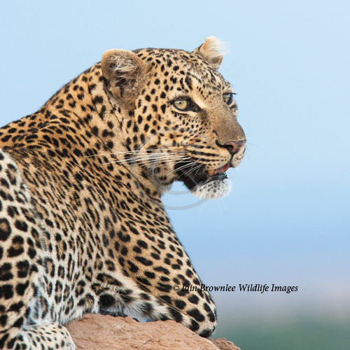 Female Leopard - Kenya