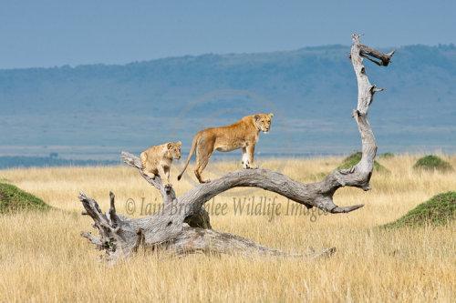 Lioness and Cub on the Masai Mara.