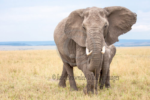 Elephant and calf on the Masai Mara.