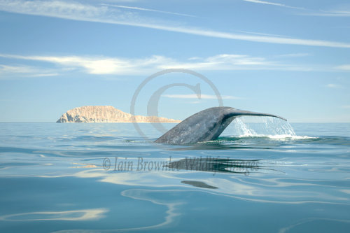 Blue Whale - Sea of Cortez