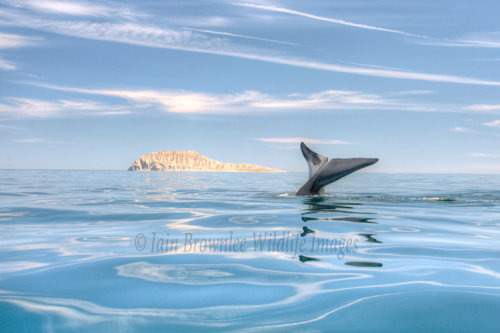Blue Whale - Sea of Cortez