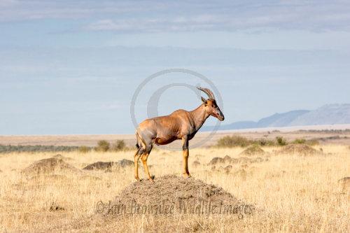 A Topi watching for threats on the Masai Mara