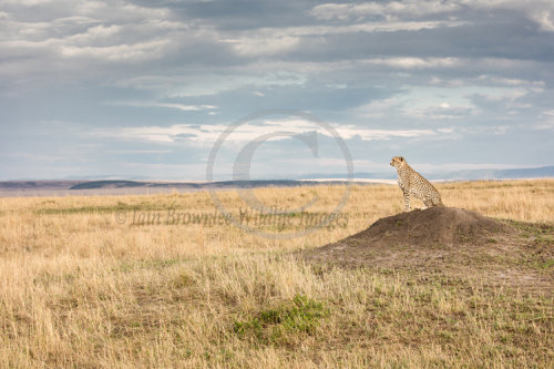 Cheetah hunting on the Masai Mara