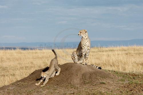 Cheeta and cub