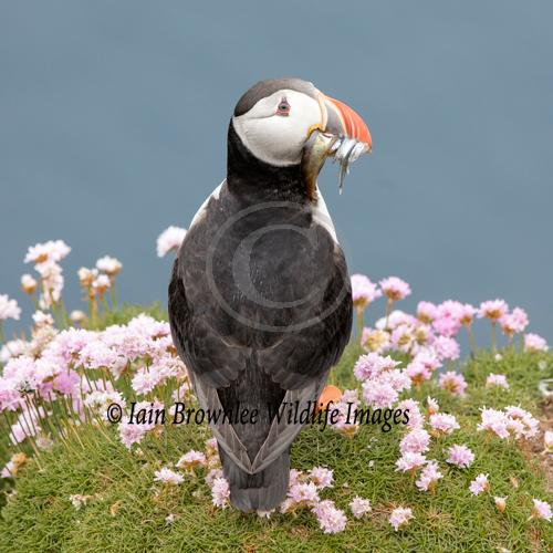 Puffin - Shetlands