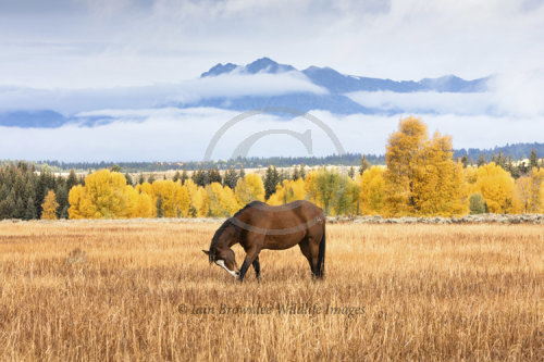 Ranch horse in fall colours - Grand Tetons
