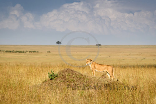 Lioness hunting on the Masai Mara.