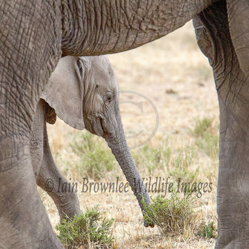 Young elephant framed by his mother.