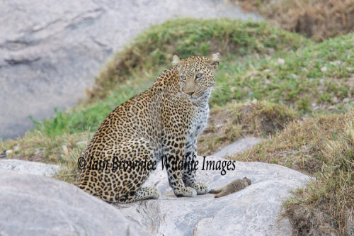 Leopard with mongoose kill