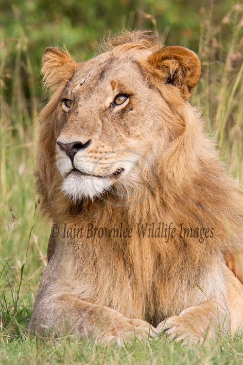 Young Male Lion - Kenya