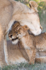 A quiet moment with the lion family
