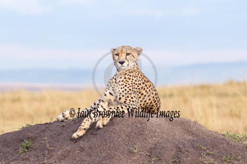 Cheetah on termite mound - Kenya