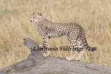 Cheetah Cub climbing