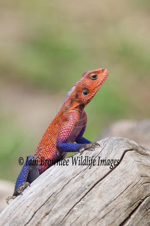 Male Flat-headed Agama