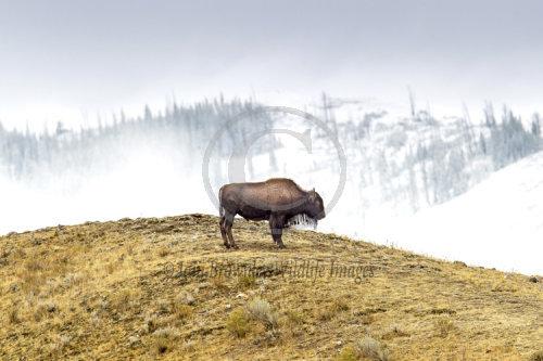 American Bison Grand Tetons