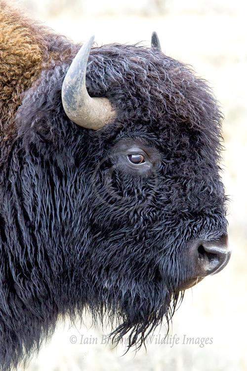 American Bison Bull - Yellowstone