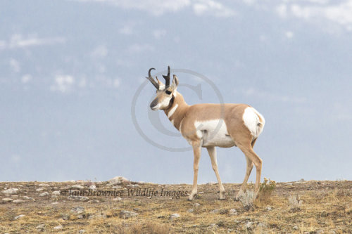 Pronghorn Deer - Yellowstone
