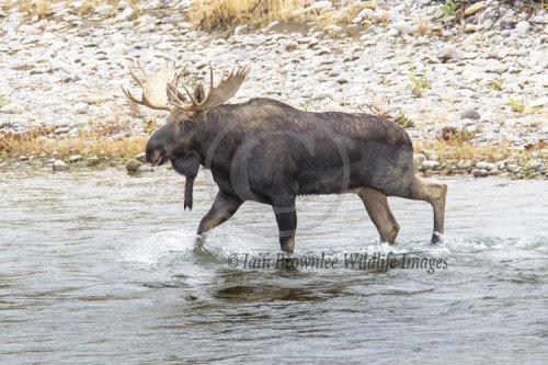 Bull Moose Grand Tetons