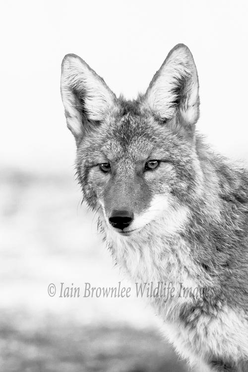 Coyote - Grand Tetons