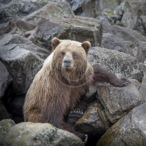 Grizzly Bear - Alaska