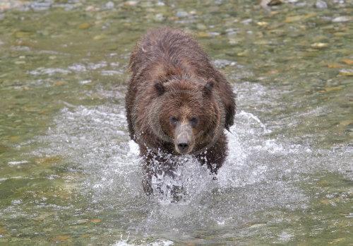 Grizzly Bear fishing for salmon  - Alaska