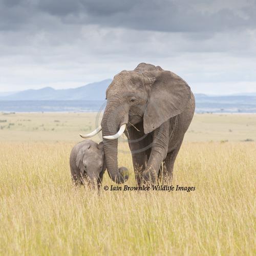 Elephant and Calf - Kenya