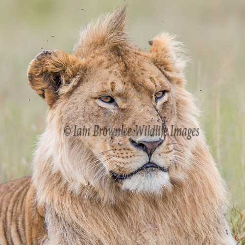 Young Male Lion - Kenya