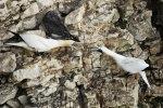 Squabbling Gannets