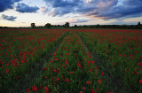 Redrick's Lane Poppy Field