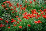 Dalamatian Poppies