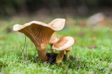 Honey Milkcap