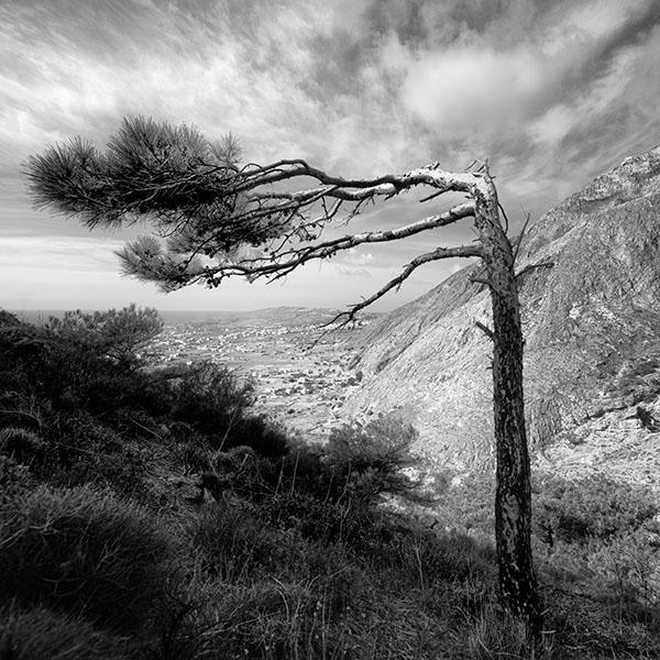 Santorini Tree