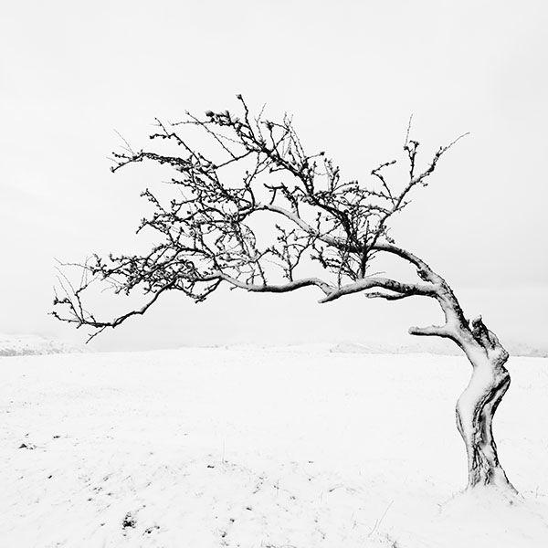 Nannerch Tree
