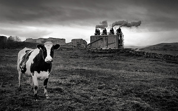 The Cow and the Factory